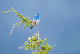 Male Mountain Bluebird in the Mission Valley, Montana, Usa Photographic Print by Chuck Haney