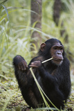Tanzania, Gombe Stream NP, Female Chimpanzee Sitting at National Park Photographic Print by Kristin Mosher