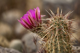 Hedgehog Cactus in Bloom, Red Rock Canyon Nca, Las Vegas, Nevada Photographic Print by Rob Sheppard