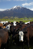 Cows and Mt Somers, Mid Canterbury, South Island, New Zealand Photographic Print by David Wall