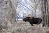 Moose in the Teton Mountains, Grand Teton NP, WYoming Photographic Print by Howie Garber