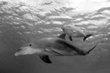 Atlantic Bottlenose Dolphins and Baby. Curacao, Netherlands Antilles Fotografisk tryk af Barry Brown
