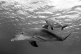 Atlantic Bottlenose Dolphins and Baby. Curacao, Netherlands Antilles Photographic Print by Barry Brown