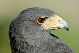 Harris Hawk, Harris Hawk a Harris Hawk Hunting in the Sonoran Desert Photographic Print by Richard Wright