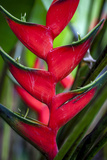 Heliconia Stricta Huber Flower. Costa Rica. Central America Photographic Print by Tom Norring
