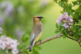 Cedar Waxwing on Lilac Bush Marion, Illinois, Usa Photographic Print by Richard ans Susan Day