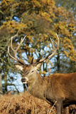 Red Deer of Richmond Park, London, Uk, Main Attraction of This Reserve Photographic Print by Richard Wright