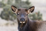 USA, Colorado, Estes Park, Rocky Mountain NP, Cow Elk or Wapiti Photographic Print by Frank Zurey