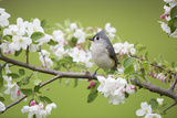 Tufted Titmouse in Crabapple Tree in Spring. Marion, Illinois, Usa Lámina fotográfica por Richard ans Susan Day
