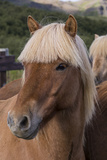 Close Up of an Icelandic Horse, Iceland Photographic Print by Gavriel Jecan