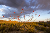 Ocotillo in Bloom at Sunrise in Big Bend National Park, Texas, Usa Stampa fotografica di Chuck Haney