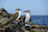 Ecuador, Galapagos, Isabela Island, Punta Moreno. Blue-Footed Booby Fotodruck von Kevin Oke