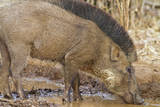 Wild Boar, Tadoba Andheri Tiger Reserve, Tatr, India Photographic Print by Jagdeep Rajput