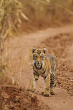 Bengal Tiger Cub on the Move, Tadoba Andheri Tiger Reserve, India Photographic Print by Jagdeep Rajput