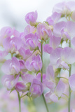 USA, Washington, Seabeck. Sweet Pea Blossoms Photographic Print by Jaynes Gallery