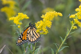Monarch on Goldenrod, Marion Co. Il Photographic Print by Richard ans Susan Day