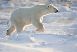 Polar Bear, in Snow, Churchill Wildlife Area, Churchill, Mb Canada Photographic Print by Richard ans Susan Day