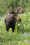 Moose in Wildflowers, Little Cottonwood Canyon, Wasatch-Cache Nf, Utah Photographic Print by Howie Garber