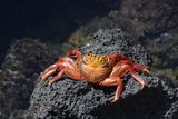 Ecuador, Galapagos Islands, Santa Cruz Island. Sally Lightfoot Crab Photographic Print by Kevin Oke