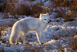 Arctic Fox in Snow, Churchill Wildlife Area, Churchill, Mb Canada Reproduction photographique par Richard ans Susan Day
