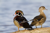Wood Duck Male and Female on Log in Wetland, Marion, Illinois, Usa Photographic Print by Richard ans Susan Day