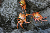 Ecuador, Galapagos, Santiago Island. Sally Lightfoot Crabs on Lava Photographic Print by Kevin Oke
