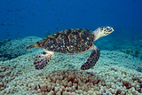 Hawksbill Sea Turtle over a Coral Reef. Curacao, Netherlands Antilles Photographic Print by Barry Brown