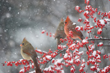 Northern Cardinals in Common Winterberry, Marion, Illinois, Usa Reproduction photographique par Richard ans Susan Day