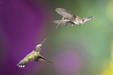 USA, Arizona, Madera Canyon. Two Female Hummingbirds in Flight Photographic Print by Jaynes Gallery