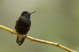 Black-Bellied Hummingbird in Cloud Forest, Costa Rica Photographic Print by Rob Sheppard