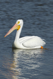 White Pelican, Viera Wetlands Florida, Usa Photographic Print by Maresa Pryor