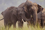 Indian Asian Elephant, Offering Grass, Corbett National Park, India Photographic Print by Jagdeep Rajput