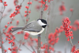 Carolina Chickadee in Common Winterberry Marion, Illinois, Usa Reproduction photographique par Richard ans Susan Day