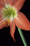 Amaryllis, Niger, West Africa Photographic Print by Charles Cecil