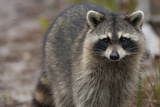Raccoon, Procyon Lotor, Florida, Usa Fotografisk trykk av Maresa Pryor