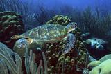 Swimming Green Turtle over Coral Reef. Curacao, Netherlands Antilles Fotografie-Druck von Barry Brown