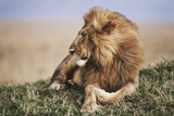 Kenya, Maasai Mara National Reserve, Lion Resting in Grass Photographic PrintKent Foster