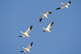 Snow Geese in Flight, Marion, Illinois, Usa Photographic Print by Richard ans Susan Day