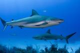 Caribbean Reef Shark, Jardines De La Reina National Park, Cuba Fotografisk tryk af Pete Oxford