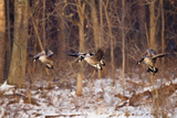 Canada Geese Landing on Frozen Lake, Marion, Illinois, Usa Photographic Print by Richard ans Susan Day