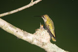 Ruby-Throated Hummingbird Female at Nest, Marion, Illinois, Usa Photographic Print by Richard ans Susan Day