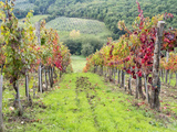 Europe, Italy, Tuscany. Vineyard in the Chianti Region of Tuscany Photographic Print by Julie Eggers