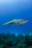 Caribbean Reef Shark, Jardines De La Reina National Park, Cuba Photographic Print by Pete Oxford