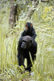 Tanzania, Gombe Stream NP, Chimpanzee with Her Baby on Her Back Photographic Print by Kristin Mosher