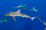 Silky Shark, Jardines De La Reina National Park, Cuba Photographic Print by Pete Oxford