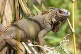 Green Iguana. Sarapiqui. Costa Rica. Central America Photographic Print by Tom Norring