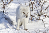 Arctic Fox in Snow, Churchill Wildlife Area, Churchill, Mb Canada Reproduction photographique par Richard ans Susan Day