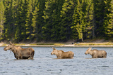 Cow Moose and Calves, Fishercap Lake, Glacier National Park, Montana Photographic Print by Howie Garber