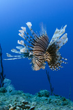 Red Lionfish, Jardines De La Reina National Park, Cuba, Caribbean Photographic Print by Pete Oxford