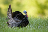 Eastern Wild Turkey Gobbler Strutting, Holmes, Mississippi, Usa Photographic Print by Richard ans Susan Day